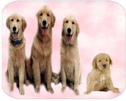 cachorros-golden-retriever-canes